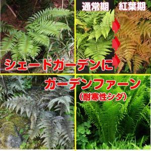 耐寒性シダ 日陰の庭に緑を 1株 選べるガーデンファーン hanamankai