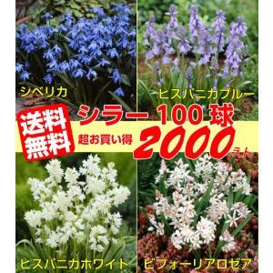 植えたままで毎年咲くお手軽シラー100球パックもう、あっちこっちにいっぱい植えてね*送料無料・他品同梱オッケー