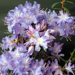 今季開花はほぼ終了しています。 次年度お花を楽しむ苗になります。  もっとも青に近いと言われるツツジ...
