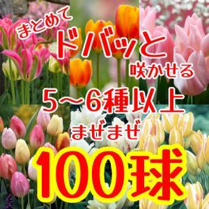 チューリップ三昧 球根 100球セット いろんな高性種のチューリップ10種以上を混ぜ混ぜ合計100球で 他品同梱可 花 春咲き hanamankai