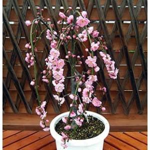 花ウメ 苗木 しだれ梅 春 鉢植え 選べるピンク&ホワイト 枝垂れ 6号 ポット 家庭樹|hanamankai