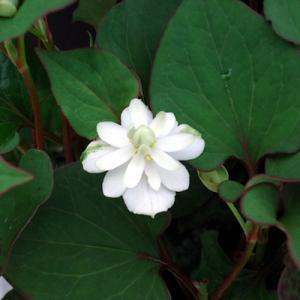 八重咲き十薬(ドクダミ)  9cmポット苗 1個|hanamankai