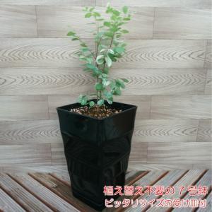 ヨウシュコバンノキ(洋種小判の木) 色変わりの葉を室内で観葉植物として楽しんでください 植え替えなし7号・受け皿付きでお届け ・スノーブッシュ hanamankai