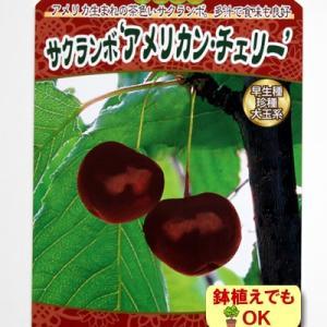さくらんぼ 果樹 苗木 アメリカンチェリー サクランボ 4.5号 直径13.5cm ポット 落葉樹|hanamankai