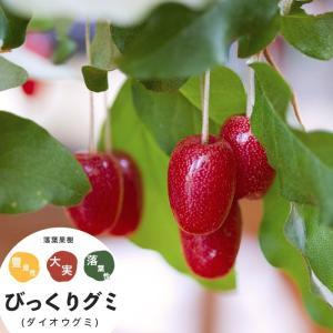 グミの木 ビックリグミ 果樹 苗木 大実 びっくりぐみ 1年生 挿し木 4.5号 直径13.5cm ポット 落葉樹|hanamankai