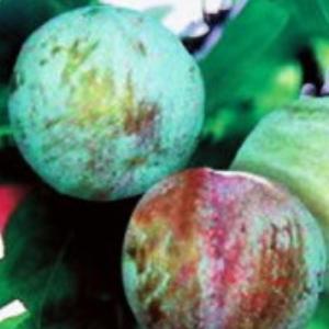 果樹 苗木 すもも 夏 プラム ソルダム 4.5号 13.5cm ポット 1株 日本スモモ 落葉樹 hanamankai