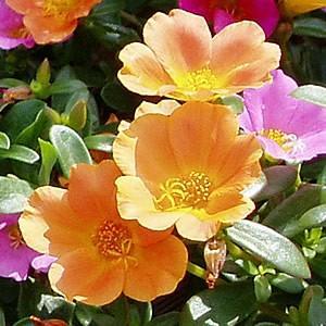 ポーチュラカ 花 苗  9cmポット苗 可憐な一重咲き 暖かオレンジ 2株セット 育て方の説明書付き hanamankai