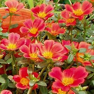 ポーチュラカ 苗 鮮やかレッド 2株セット 可憐な一重咲き 育て方の説明書付き hanamankai