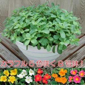 ポーチュラカ カラフル5色咲く8号鉢 hanamankai