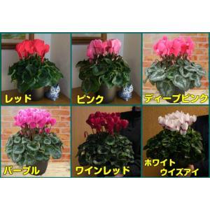 【予約販売】シクラメン 花 6号サイズ 鉢植え そのまま飾れる鉢カバー付 他品同梱不可 12月上旬以降のお届け hanamankai