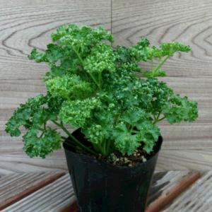 パセリ キッチンハーブ 苗 おすすめ グリーン 2株セット プランター 寄せ植え|hanamankai