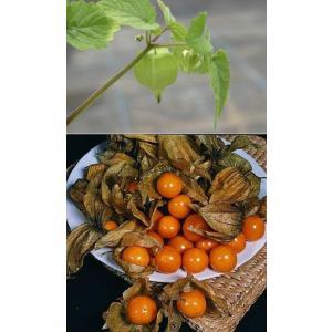 食用ほおずき アンデスゴールド 果実 苗 夏 1株 トマティージョ トマティーヨ hanamankai