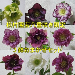 八重咲きクリスマスローズ 福袋 4号3鉢おまかせセット送料無...
