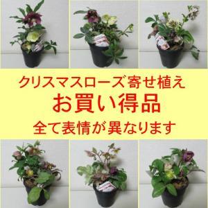 クリスマスローズ 1鉢に3〜4種の開花物を寄せ植えしたお値打ち品 松村園芸さんの開花株 おまかせミックス