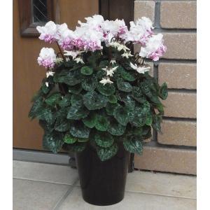 シクラメンの花 5号 鉢植え 予約 矢祭園芸 ローゼスピンクバイカラー 新品種 他品同梱不可