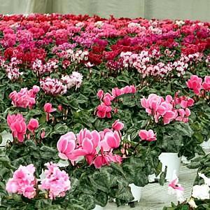 シクラメン福袋 花 5号 鉢植え 2種セット 農場一掃セールです 色品種完全おまかせ 他品同梱不可 hanamankai