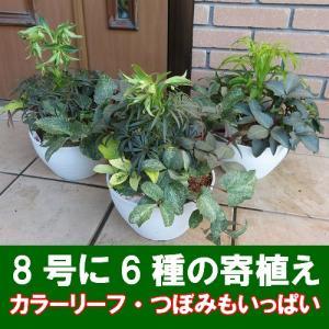 松村園芸さんの BIG8号サイズ クリスマスローズガーデン (クリスマースローズ6種の寄せ植え) ※送料無料・他品同梱不可