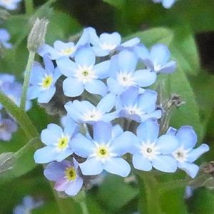 忘れな草 ブルー 約100粒 種だけなら第4種ま...の商品画像