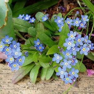忘れな草 ブルー 約100粒 種だけなら第4種...の詳細画像1