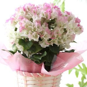 ブーゲンビレア 鉢植え 送料無料 ブーゲンビリア 母の日 贈り物 記念日 【お届けは5月1日〜5月11日となります。】|hanamasa-k