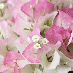 ブーゲンビレア 鉢植え 送料無料 ブーゲンビリア 母の日 贈り物 記念日 【お届けは5月1日〜5月11日となります。】|hanamasa-k|03
