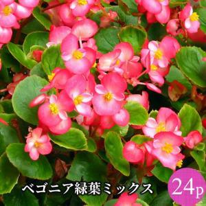 ベゴニア センパフローレンス 緑葉 花苗 24ポットミックス セット