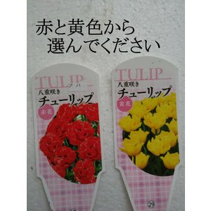 チューリップ 芽出し苗 赤 白 紫 黄 桃 白赤 黄赤 赤白