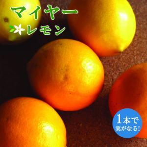 予約商品 接木一年生柑橘苗 マイヤーレモン 15cmポット 10月27日より順次発送|hananoyamato-online