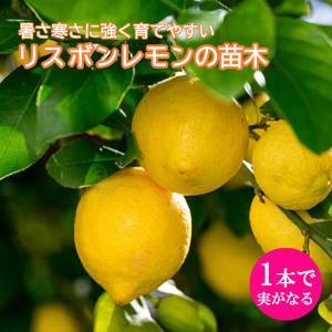 予約商品 接木一年生柑橘苗 リスボンレモン 15cmポット 10月27日より順次発送|hananoyamato-online
