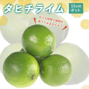 予約商品 接木一年生柑橘苗 タヒチライム 15cmポット苗 10月27日より順次発送|hananoyamato-online