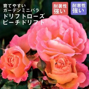 予約商品 ドリフトローズ苗 ピーチドリフト 9cmポット 育てやすいガーデンミニバラ 10月27日より順次発送|hananoyamato-online