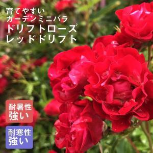 予約商品 ドリフトローズ苗 レッドドリフト 9cmポット 育てやすいガーデンミニバラ 10月27日より順次発送 hananoyamato-online