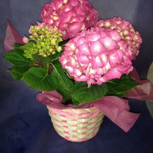 紫陽花(ピンク):5寸サイズ:送料無料ギフト|hanaoroshi