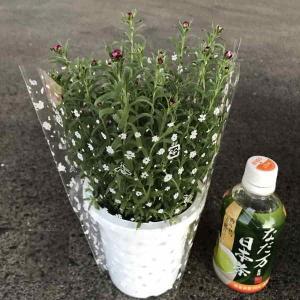 花かんざし(4寸)1鉢:(1箱12鉢入り)