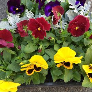花3種以上保障:1箱24入:パンジー入り当社お任せMixです。 (花種についてお問い合わせありました...