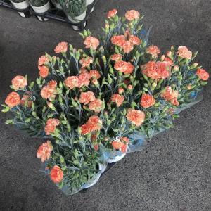 カーネーション:オレンジ色(4寸)1鉢:(1箱11鉢入)|hanaoroshi