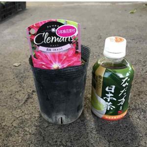 クレマチス苗八重咲(色MIX)1ポット:3.5寸ポット(20入り)