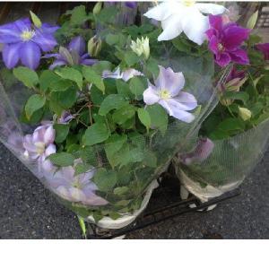 クレマチス(5寸)1鉢:(最低発注単位2鉢)|hanaoroshi