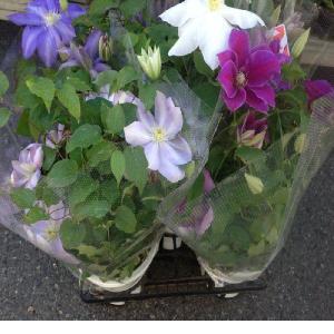 クレマチス(5寸)1鉢:(最低発注単位2鉢)|hanaoroshi|05