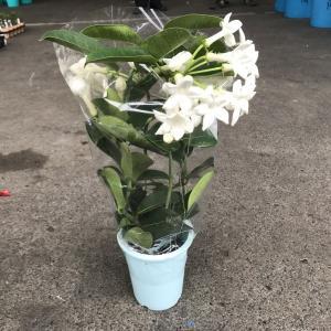 マダガスカルジャスミン(4寸):1鉢(最低発注単位8)|hanaoroshi