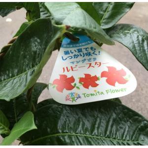 マンデビラ(5寸)1鉢|hanaoroshi