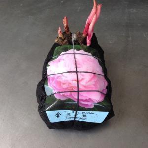 芍薬(しゃくやく)箱入り:1個:(最低発注単位15)花色指定不可 hanaoroshi 03