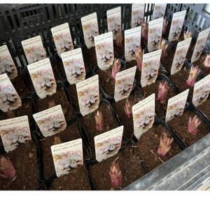 百合苗(オリエンタル系、カサブランカ入)1ポット:3.5寸ポット(20入りセット)|hanaoroshi