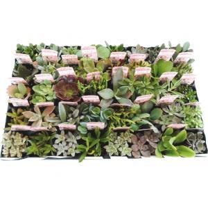 多肉苗セット販売 多肉植物ミックス 40ポットセット(2.5号)【送料無料】【お得なまとめ買い】