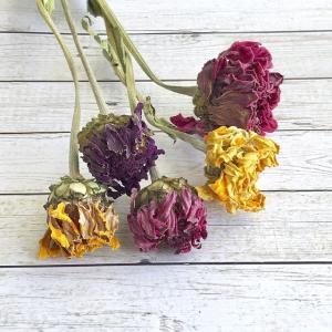 【ドライフラワー】 ジニア カラフルミックス 5本 ナチュラル素材 ハーバリウム レジン 髪飾り 花材 リース キット