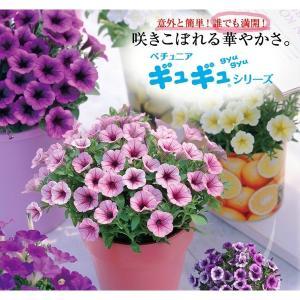 *手間要らずで「ギュギュ」っと花が密に咲く タキイ育成・多花性小輪ペチュニア「ギュギュ 12色バラ売...