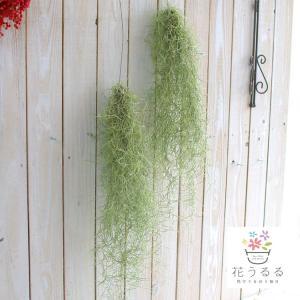 観葉植物 エア プランツ スパニッシュモス サイズ 約50〜60cm 育てやすい エアープランツ インテリア 壁掛け 吊下げ 雑貨 おしゃれ