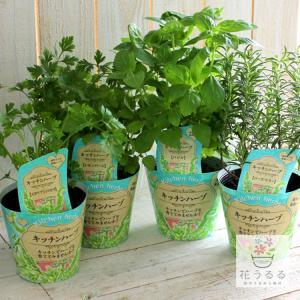 全8種類から選べる♪人気の「ハーブ栽培キット」(4号鉢)((栽培キット・ハーブティー・キッチンガーデン・寄せ植えなどに)