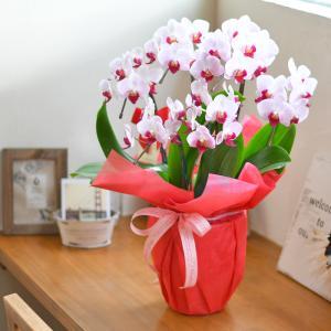 母の日ギフト 胡蝶蘭 カララ ミニミディ 6本立ち★7 ※EV 花 プレゼント|hanayaka