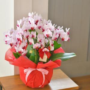 母の日ギフト 胡蝶蘭 カララ ミニミディ 8本立ち★8 ※EV 花 プレゼント|hanayaka